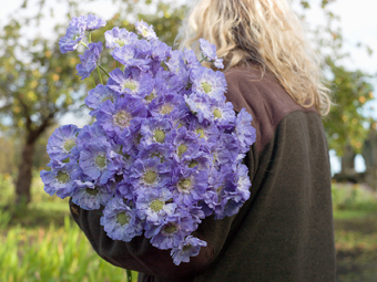 Scabious, Rowes of Guisborough, Cleveland from the series FarmerFlorist © Tessa Bunney