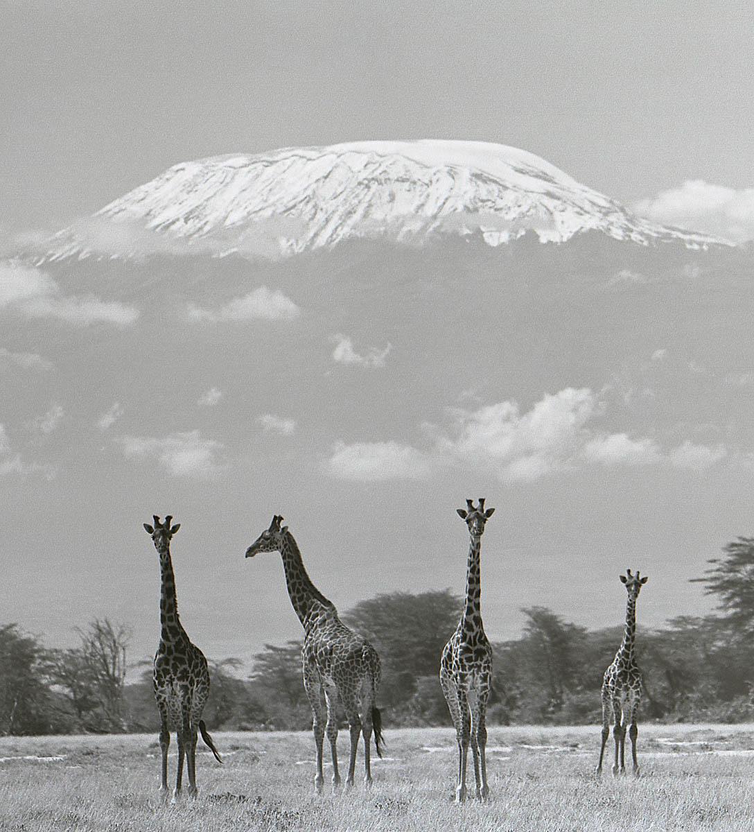 Ylla - Giraffes Photograph