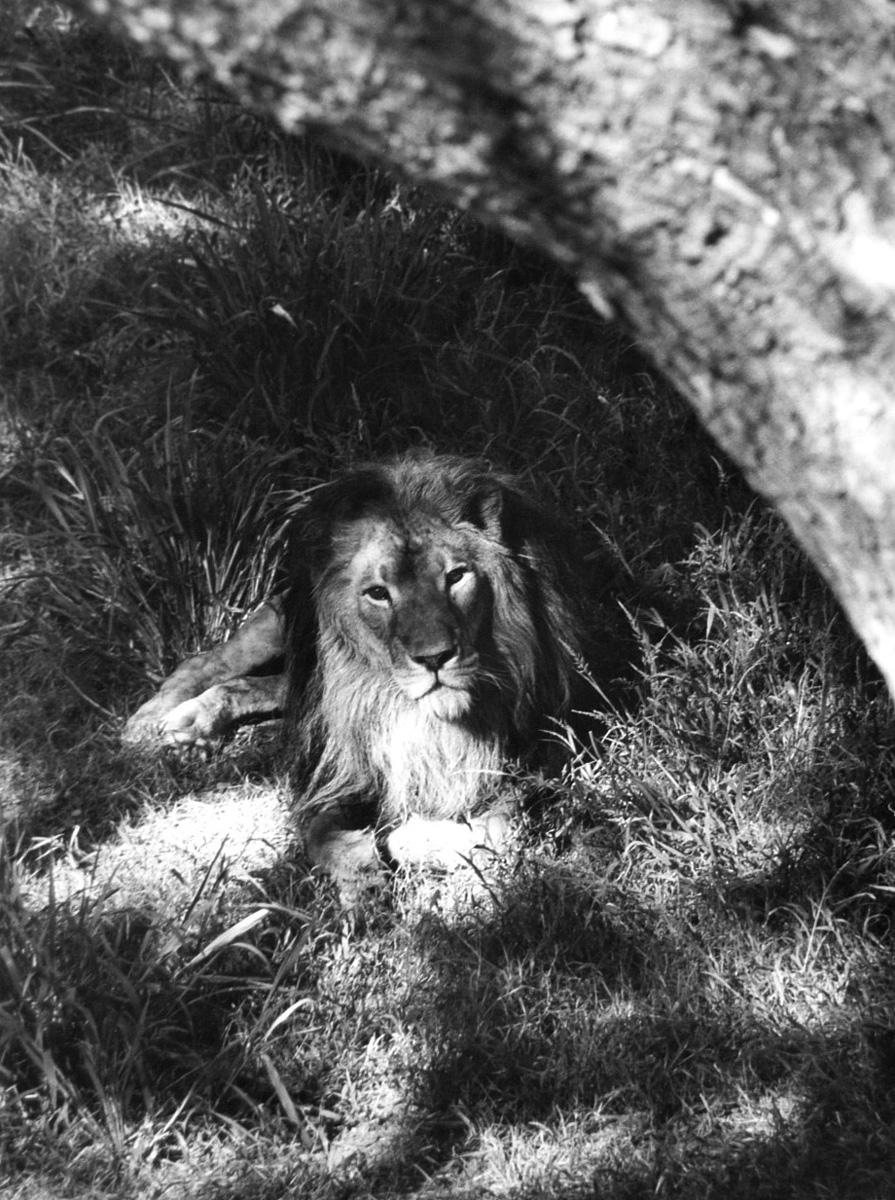 Ylla - Lion Photograph