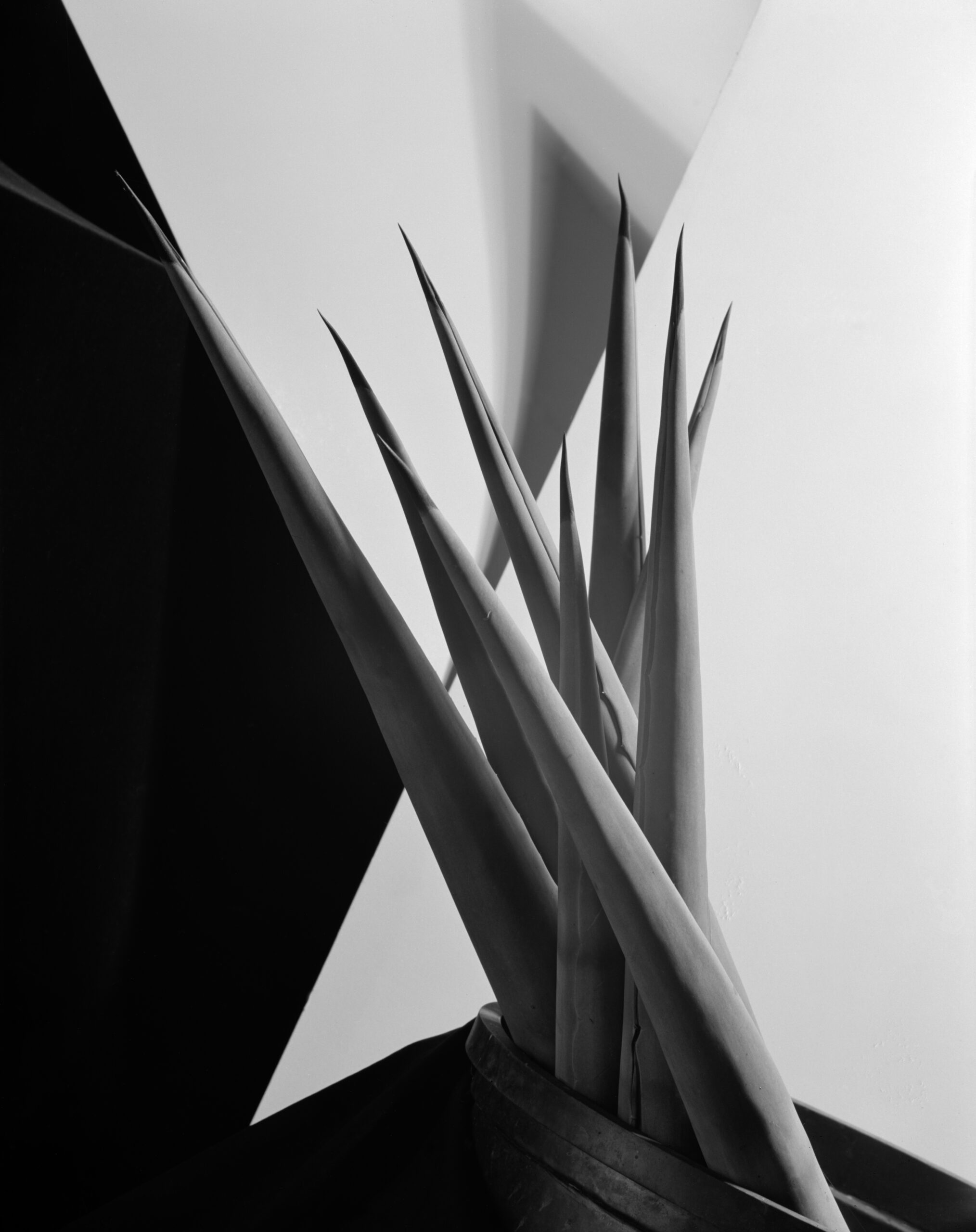 A group of agave leaves in the centre of the image grow against a background of black and white triangles. Black and white photograph by Imogen Cunningham, 1920s.